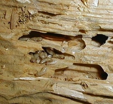 termites_in_damaged_wood-securitytermitecontrol