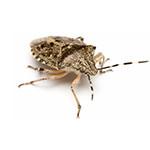 baltimore-stink-bugs