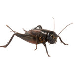 crickets-in-maryland