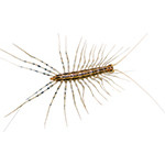house-centipedes-in-baltimore