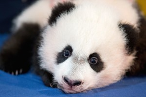 National-Zoo-Panda_Werd1-1024x683